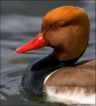 Title: A pretty Pochard *For Ulla*Canon EOS 400D (Rebel XTi)