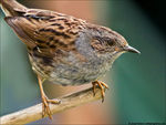 Title: Dunnock at ISO 1600!!