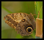 Title: Old Owl Butterfly! *For Batu*