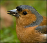 Title: Chaffinch *For Jossim*