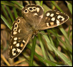 Title: Speckled Wood