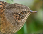 Title: The Dunnock is Back! :-))
