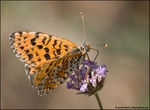 Title: Spotted Fritillary - Thanks Ivan!