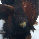 Title: Harris hawk (windy)