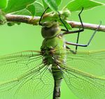 Title: Emperor DragonflyCanon Powershot S3 IS