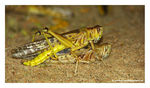 Title: Mating Locusts