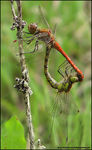 Title: Mating Ruddy Darters