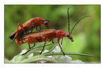 Title: Common Red Soldier Beetles