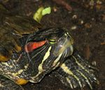 Title: Red-eared Terrapin