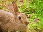 Title: Common Rabbit