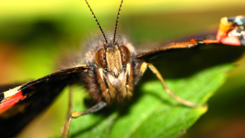 Red Admiral (face-on)