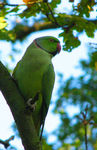 Title: Ring-Necked Parakeet *For Paul* Camera: Canon Powershot S3 IS