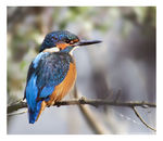 Title: Kingfisher! :D