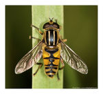 Title: Striped hoverfly