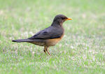 Title: African Thrush