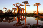 Title: Avenue des Baobabs at Sunset