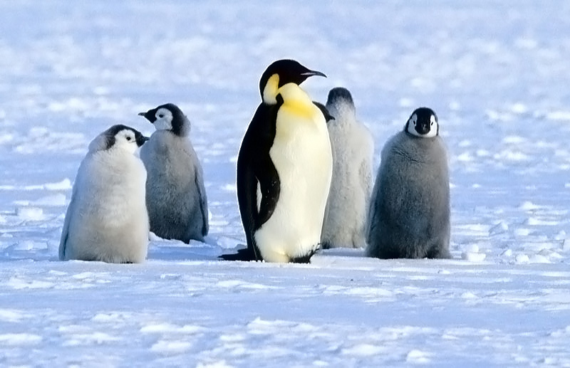 Alone on the Ice - Emperor Penguins