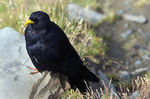 Title: Alpine Chough