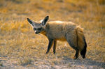 Title: Bat Eared Fox