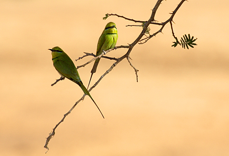 Green Bee-eaters on the Inland Delta