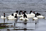 Title: Black-necked Swans