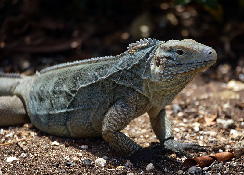 Blue Iguana - Grand Cayman Is