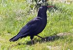 Title: British Chough for Joey
