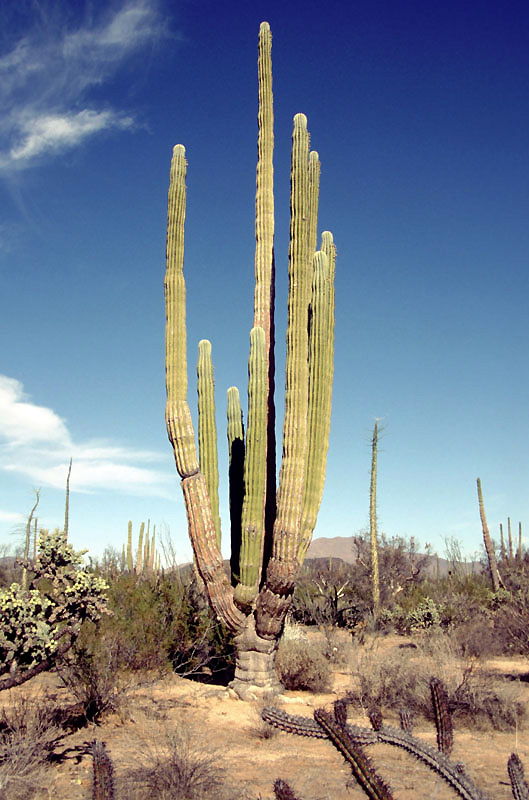 Cardon - The Largest Cactus