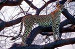 Title: Cheetahs Can't Climb Trees