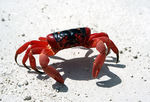 Title: 1 of 100 million-Christmas Island Crab