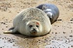 Title: Common Seals Lounging