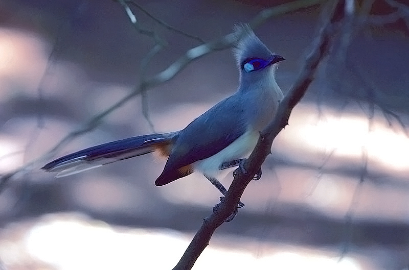 Crested Coua - for Ivan (Argus)