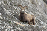 Title: Bighorn Sheep Chewing