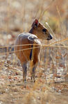 Title: Red-Flanked Duiker