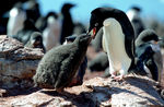 Title: Adele Penguin Feeding its Chick