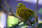 Title: Fijian Golden Fruit Dove