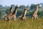 Title: Teenage Gang of Rothschild's Giraffe