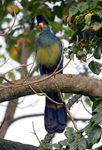 Title: Great Blue Turaco - for Siggi