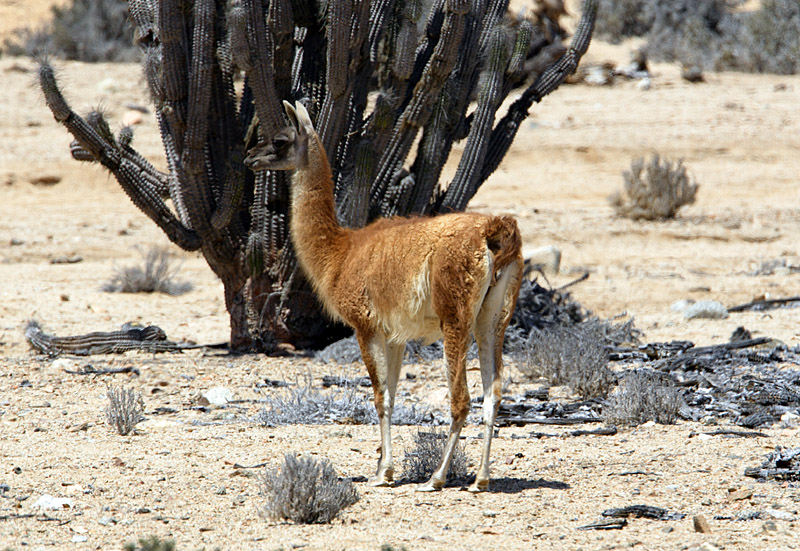 Guanaco and Quisco