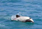 Title: Smallest and Rarest - Hector's Dolphin
