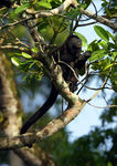 Title: Mantled Howler Monkey