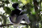 Title: Indri - or how NOT to take a Photograph