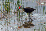 Title: Comb-Crested Jacana