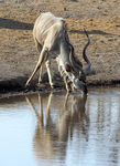 Title: Male Kudu Drinking