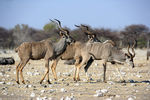 Title: Three Male Kudus