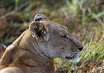 Title: Lioness Stalking KobCanon EOS 1Ds MkII