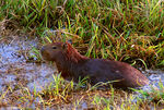 Title: Wild Capybara - The Largest Rodent