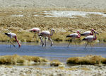 Title: Andean and Chilean Flamingo Flock