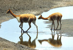 Title: Vicuna and calf