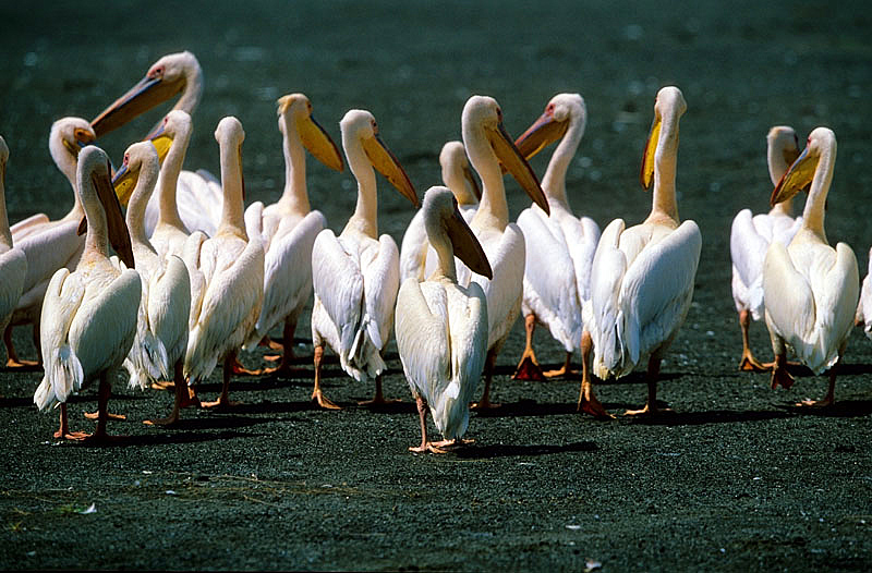 Great White Pelicans for Ulla